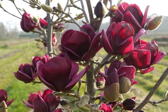 Magnolia Genie Amazing Purple Black Magnolia Giant Flowered