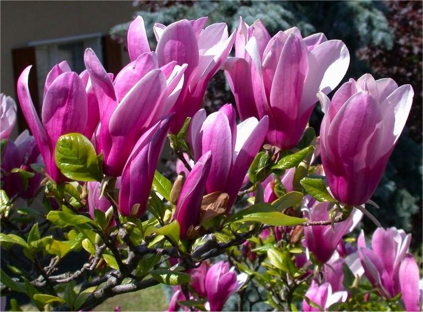 Magnolia Susan Large Specimen Plant