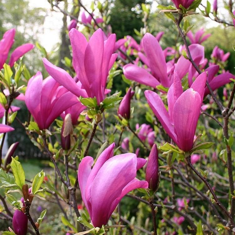 Magnolia Susan Tulip Tree