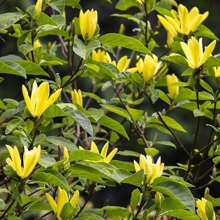 Special Deal Magnolia Daphne Sensational Yellow Tulip Tree