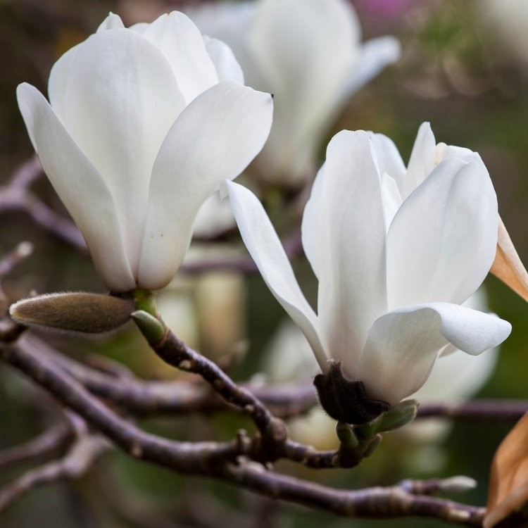 Magnolia denudata ancient chinese tulip tree with large white flowers mightylinksfo