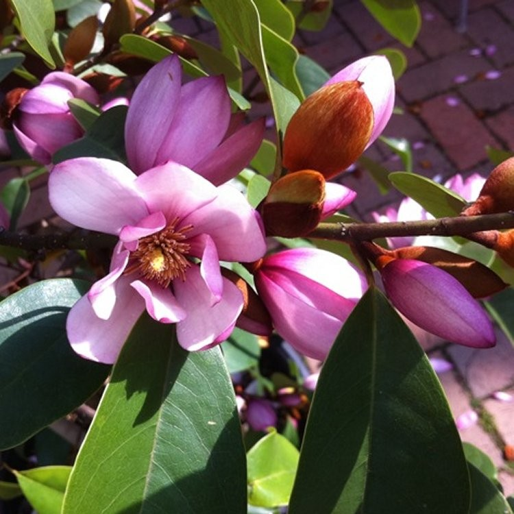 Michelia Magnolia Fairy Blush New Evergreen Soft Pink Flowering
