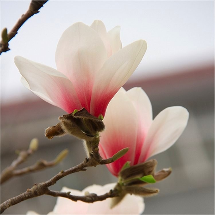 Special Deal Magnolia New Pink New Rare Tulip Tree With Soft