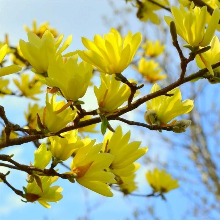 Large 4ft Magnolia Sun Spire Tulip Tree