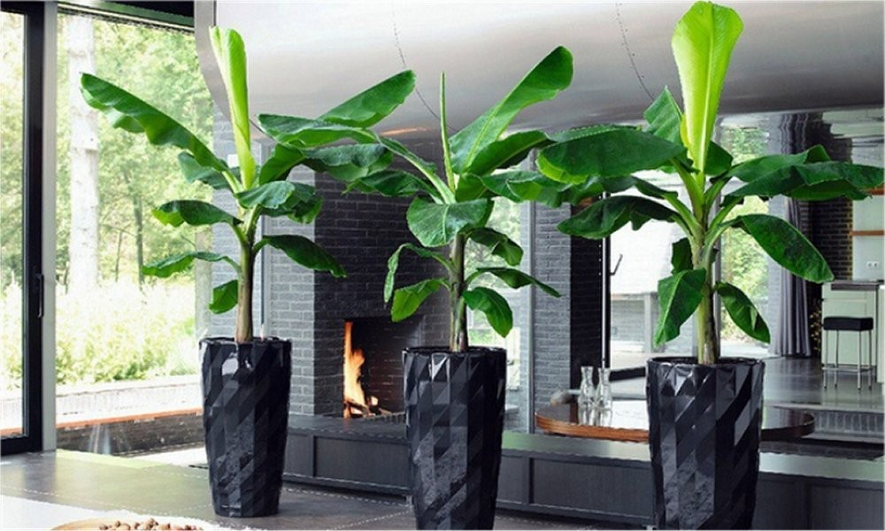 Dwarf Musa Banana Plant Perfect For Indoors Or Outdoors