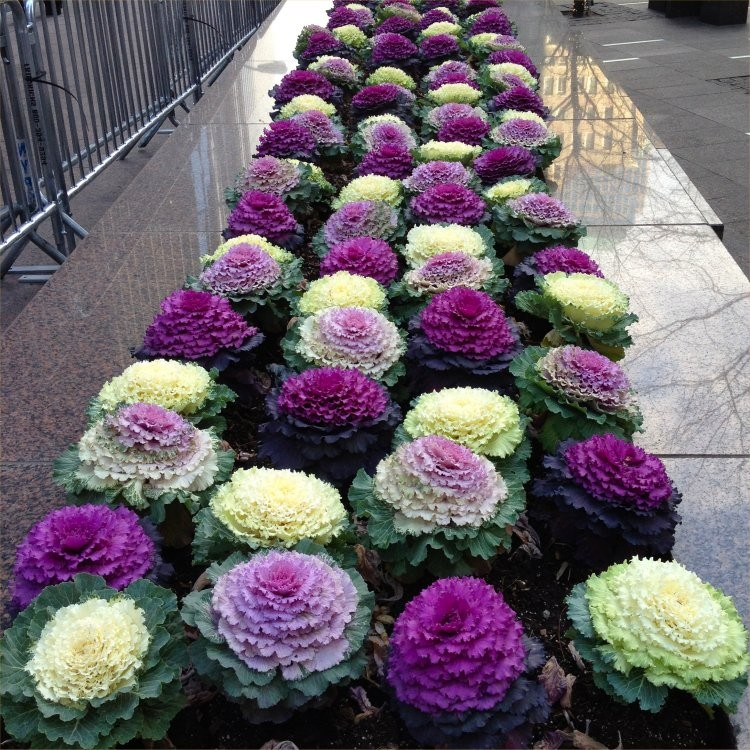 Ornamental Brassica Cabbage Selection Pack Of Three Plants
