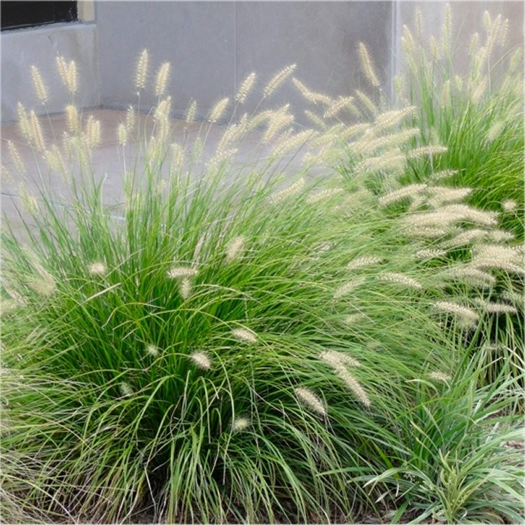 Picture of Live Fountain Grass (dwarf) aka Pennisetum alo. 'Little Bunny' Plant Fit 1 Gallon Pot