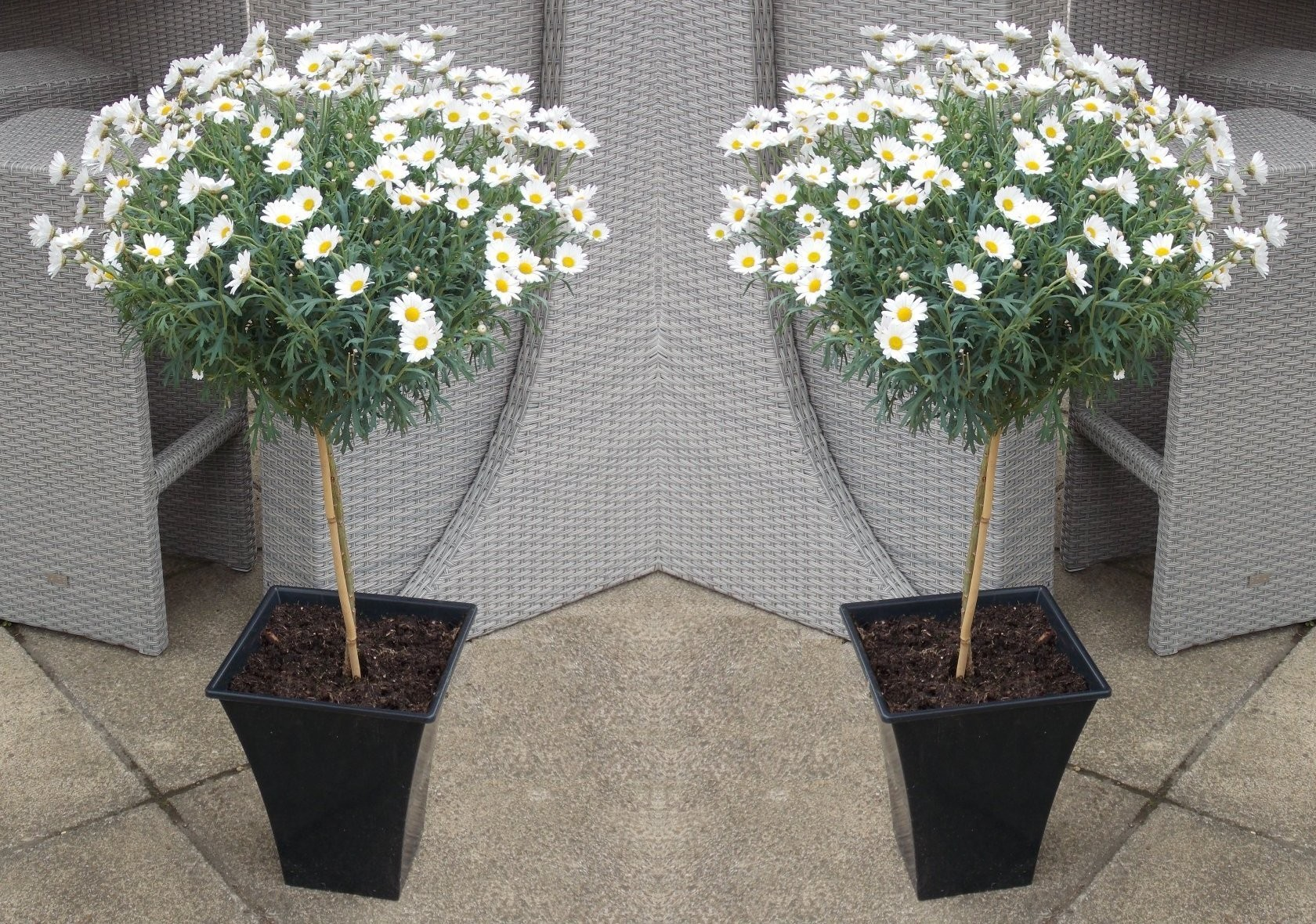 Patio Kitchen Islands Pair Of Marguerite Giant Daisy Trees Perfect For Patios