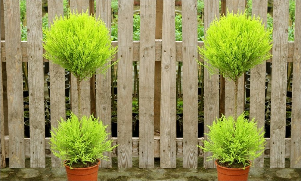 Pair Of Lovely Lemon Scented Evergeen Monterey Cypress Patio Goldcrest Duo Ball Topiary Trees Garden Plants
