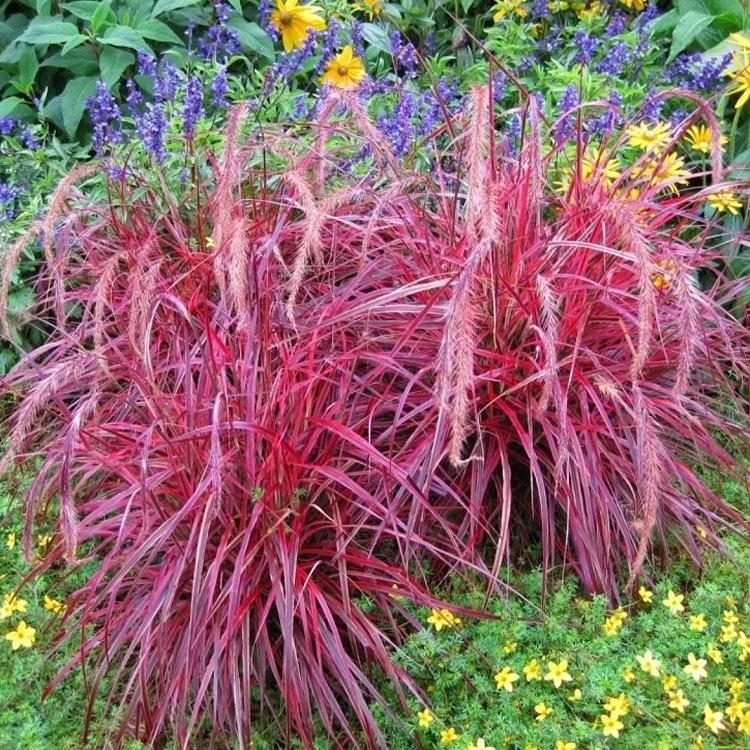 Pennisetum setaceum 39 fireworks 39 multi colour fountain grass for Red ornamental grass plants