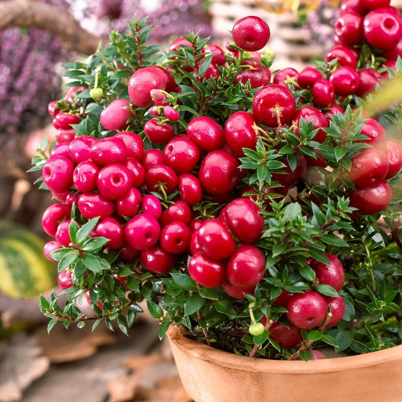 Pernettya Berries.Winter Sale Gaultheria Mucronata Royal Red Pernettya Garden Plants