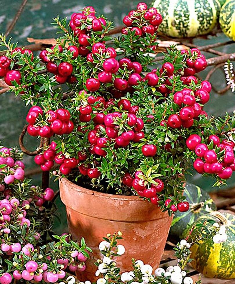 Gaultheria Pernettya.Winter Sale Gaultheria Mucronata Royal Red Pernettya Garden Plants