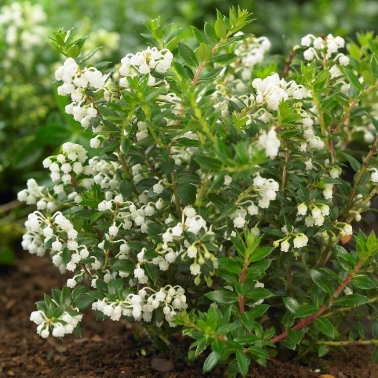 Gaultheria Pernettya.Pernettya Mucronata Male Prickly Heath Gaultheria Garden Plants