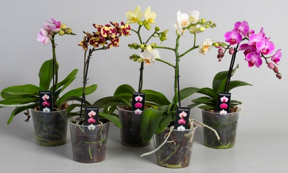 Luxury Phalaenopsis Pack Of Three Moth Orchids With