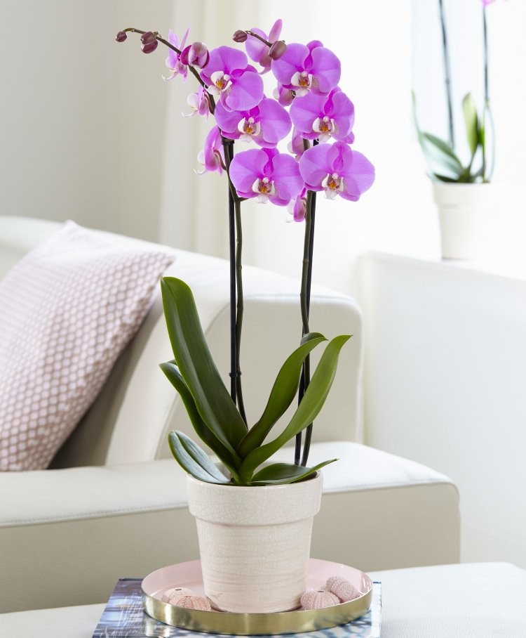 White Orchid Water Pink: PINK Moth Orchid With Classic