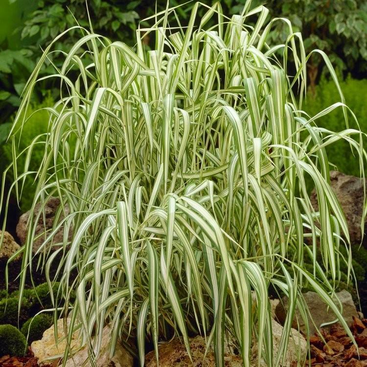 Phalaris Arundinacea Variegata Feesey Ribbon Grass