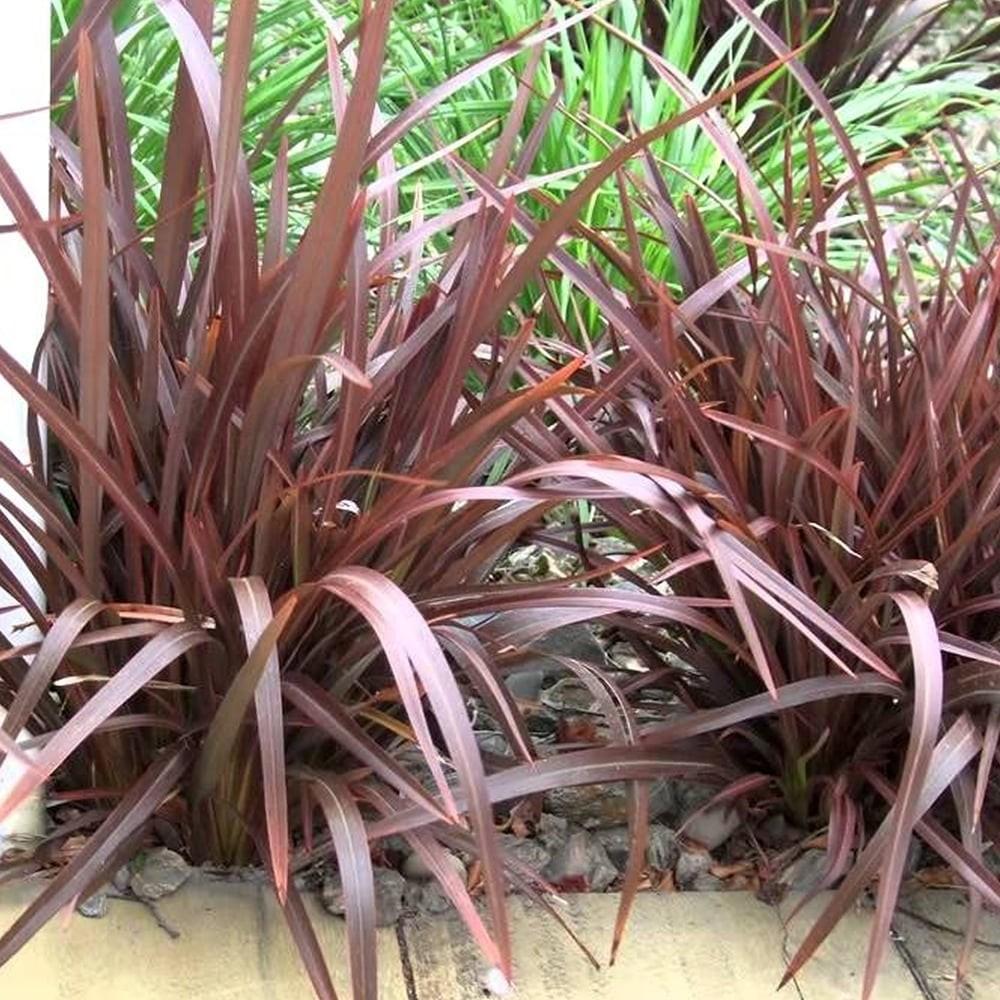 special deal phormium bronze baby new zealand flax