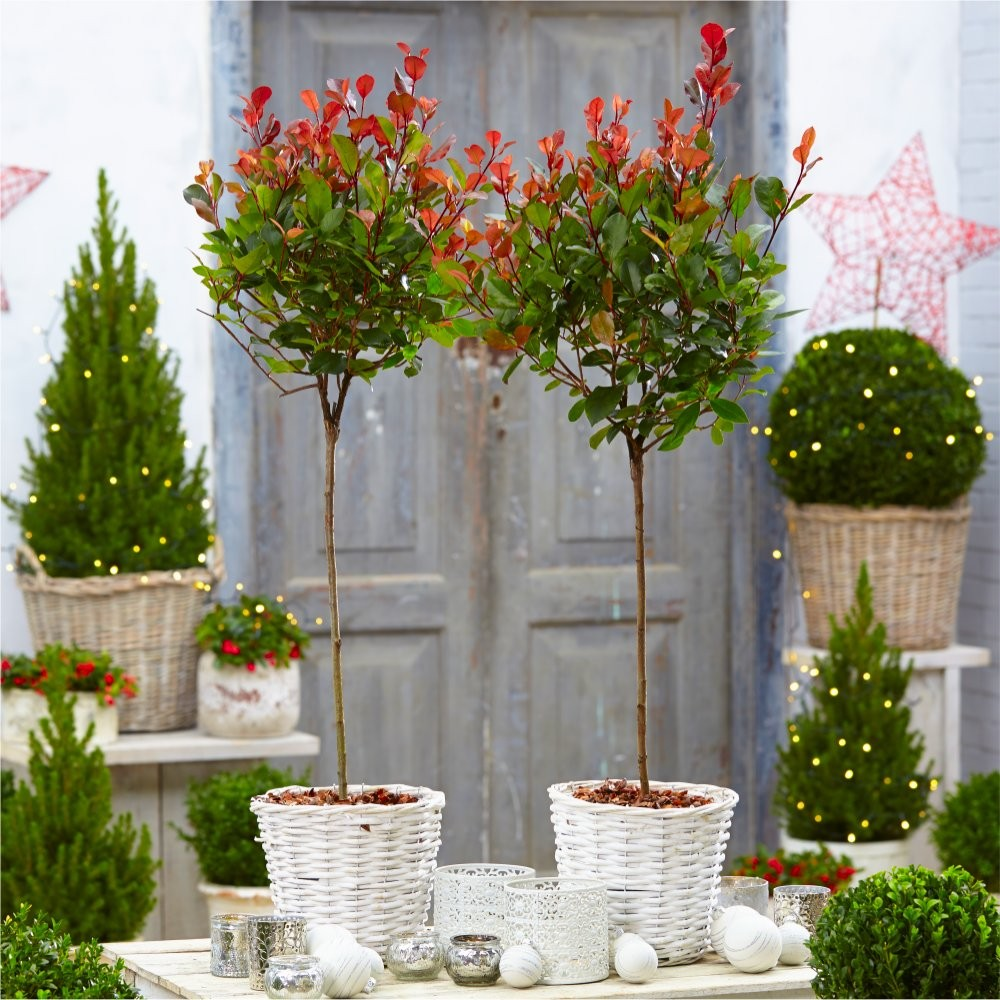 pair of evergreen photinia little red robin trees in festive white baskets. Black Bedroom Furniture Sets. Home Design Ideas
