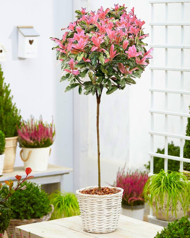 Hardy Evergreen Photinia Serratifolia Pink Crispy 100 120cm Standard Topiary Tree Special Deals Garden Plants