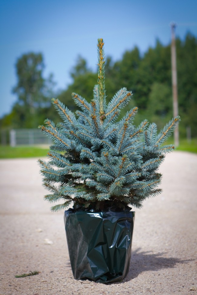 luxury fresh christmas tree pot blue spruce picea pungens glauca for immediate delivery. Black Bedroom Furniture Sets. Home Design Ideas