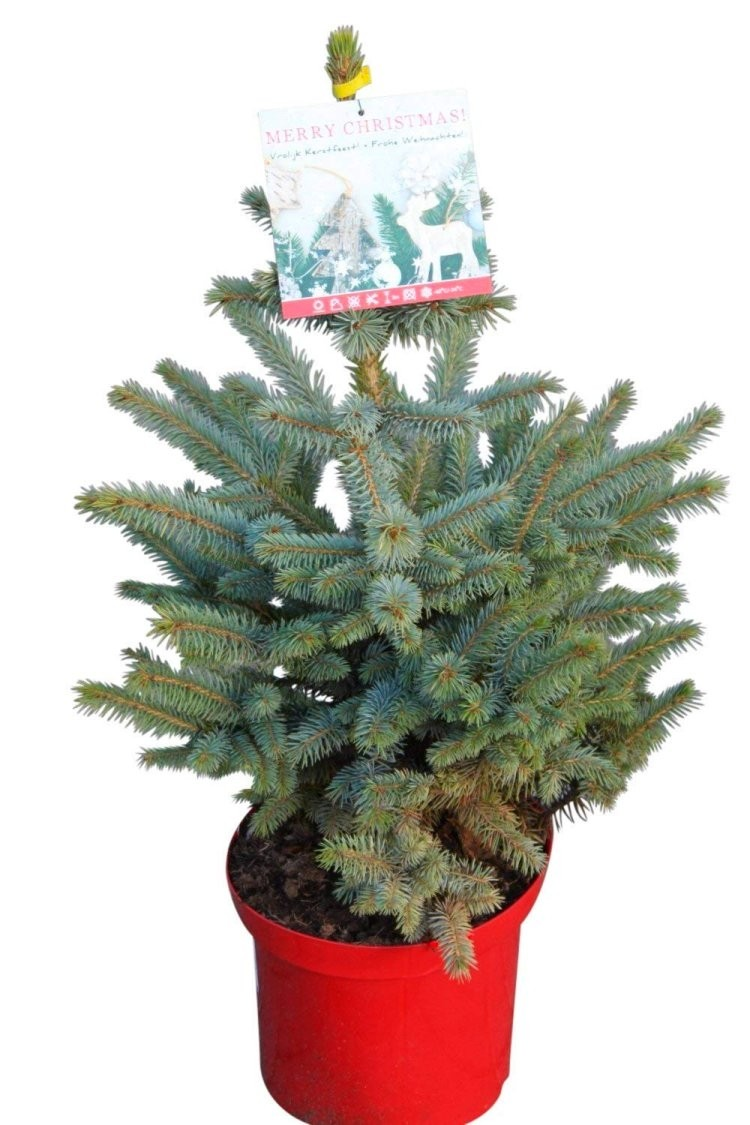 Fresh Christmas Tree.Luxury Fresh Christmas Tree Pot Blue Spruce Picea Pungens Glauca For Immediate Delivery