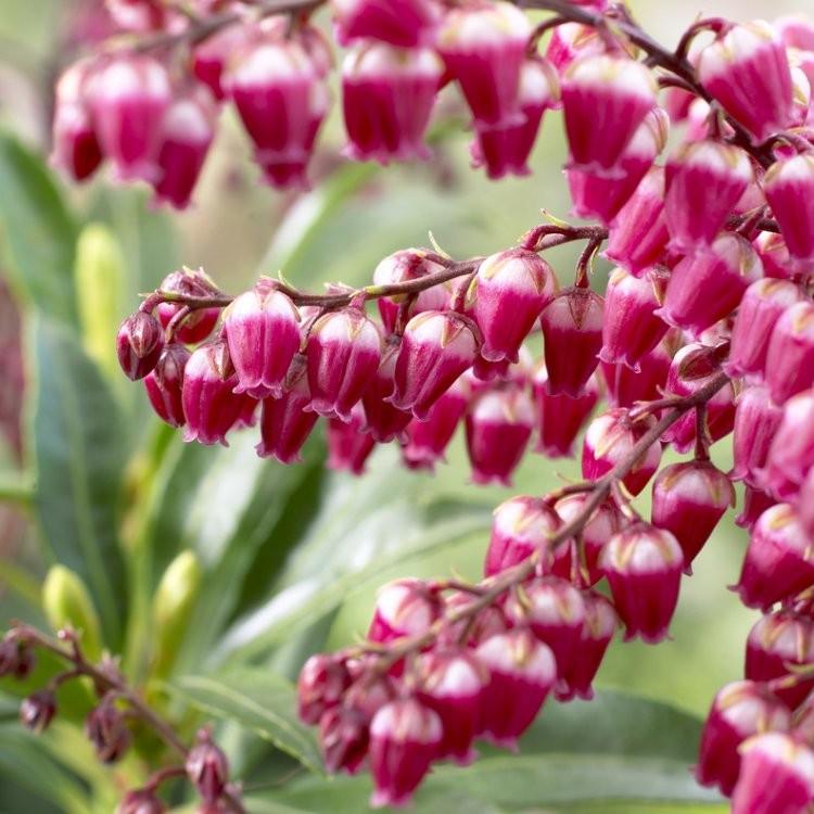 Pieris Japonica Passion Exclusive Lily Of The Valley Shrub Pack Of