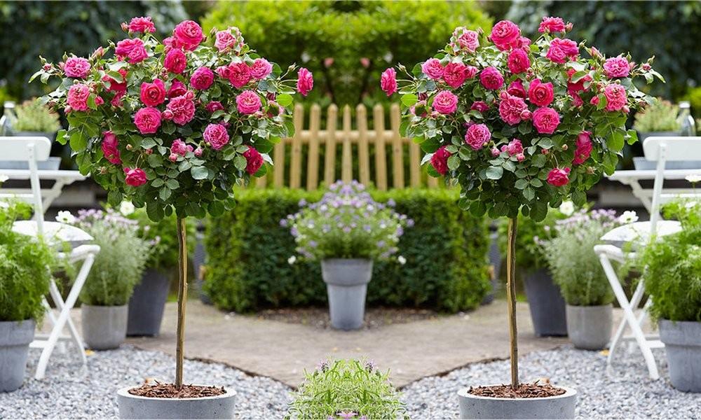 Pair of standard pink flowering patio rose trees mightylinksfo