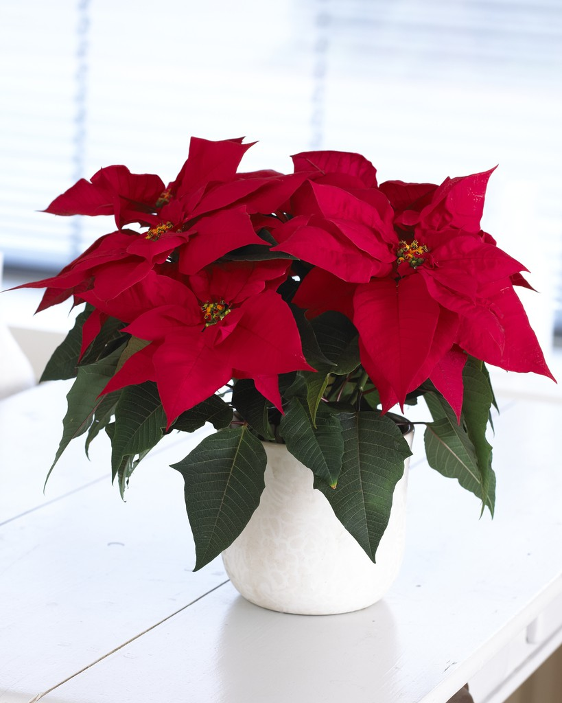 poinsettia the essential christmas plant complete with white