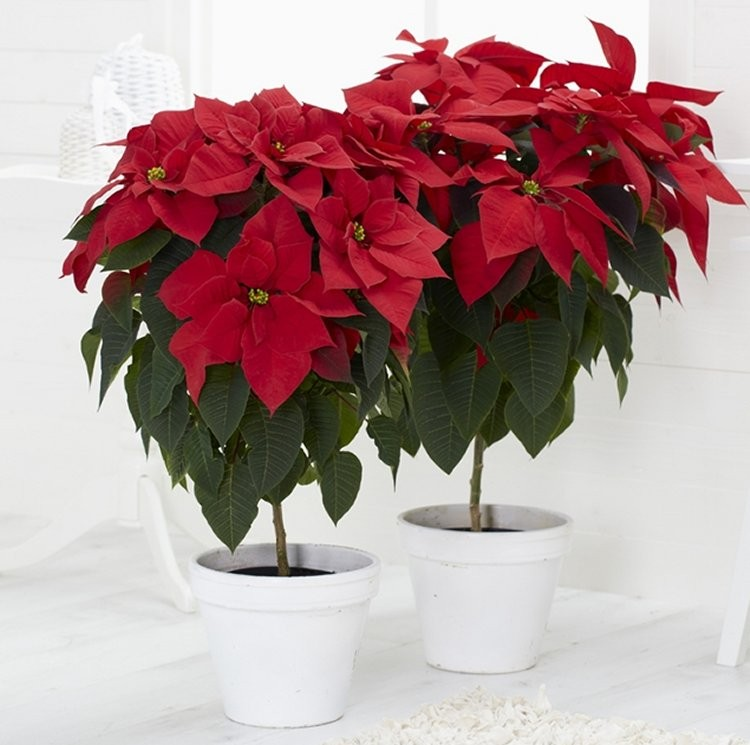 Large Statement Red Poinsettia Tree With White Cover Pot In Jute Presentation Bag Garden Plants