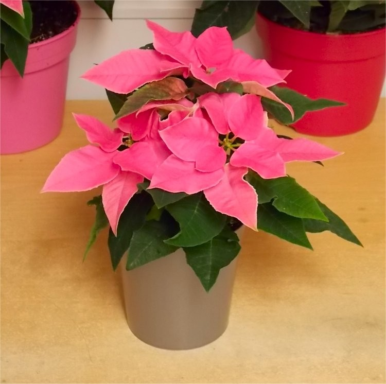 Pretty pink princettia in silver pot poinsettia plant mightylinksfo