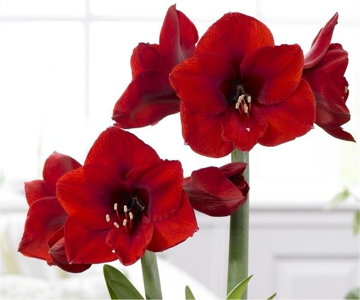 red-amaryllis1_1.jpg