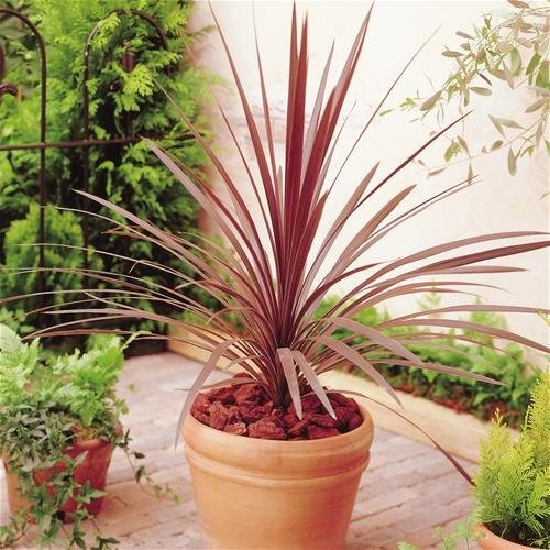 Patio Palm   Purple Red Star Class Tower Cordylines   Ideal Centre Piece  For Patio Planters