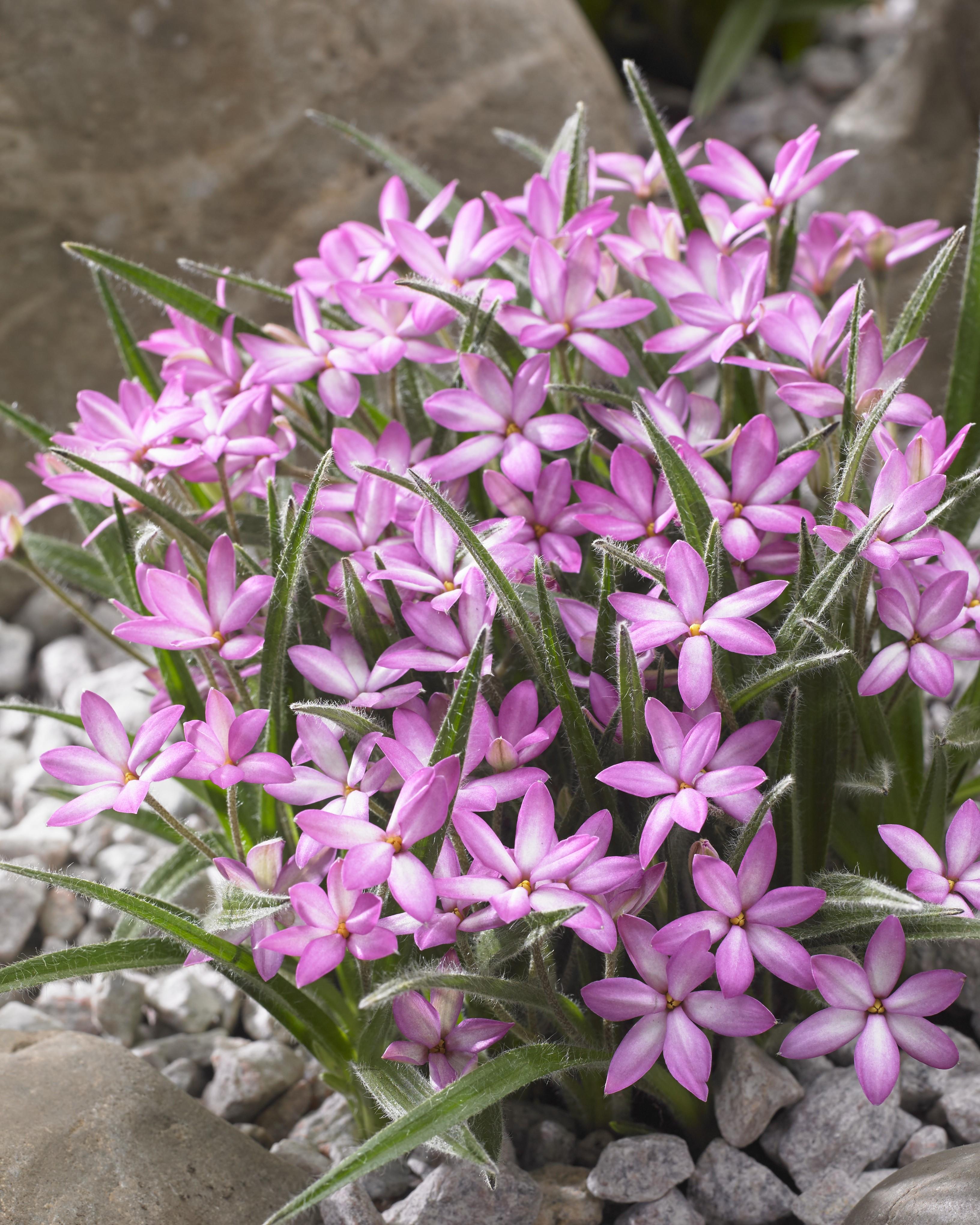 Rhodohypoxis Twinkle Stars Pink Star Grass
