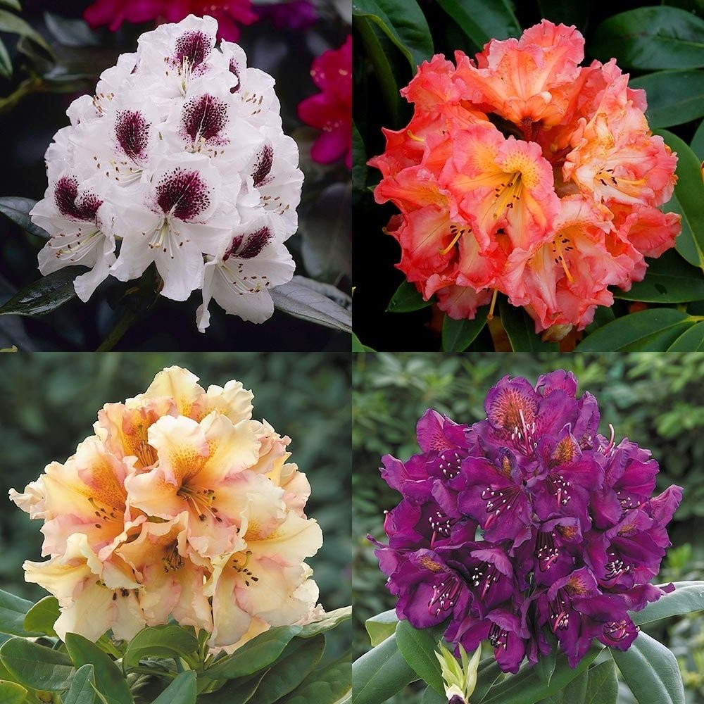 Large flowered rhododendron collection evergreen for Plants and shrubs