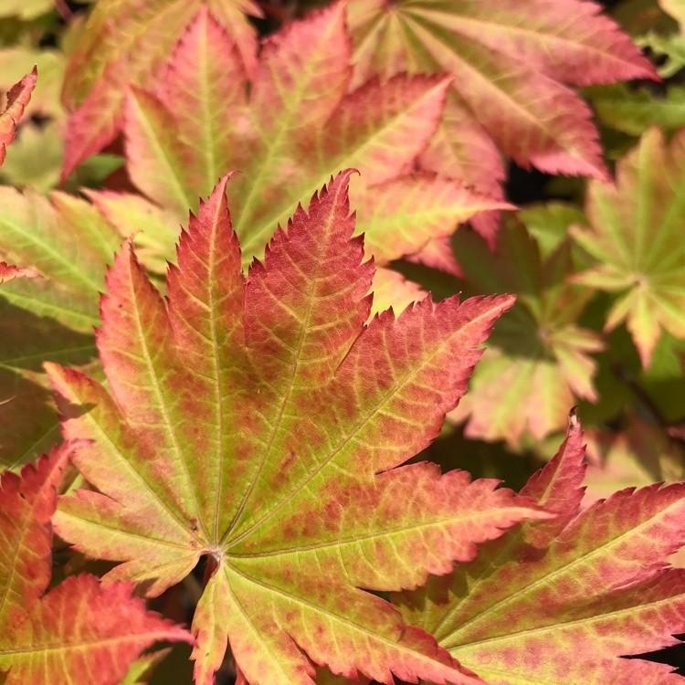 Acer Japonicum Vitifolium Vine Leaved Japanese Maple