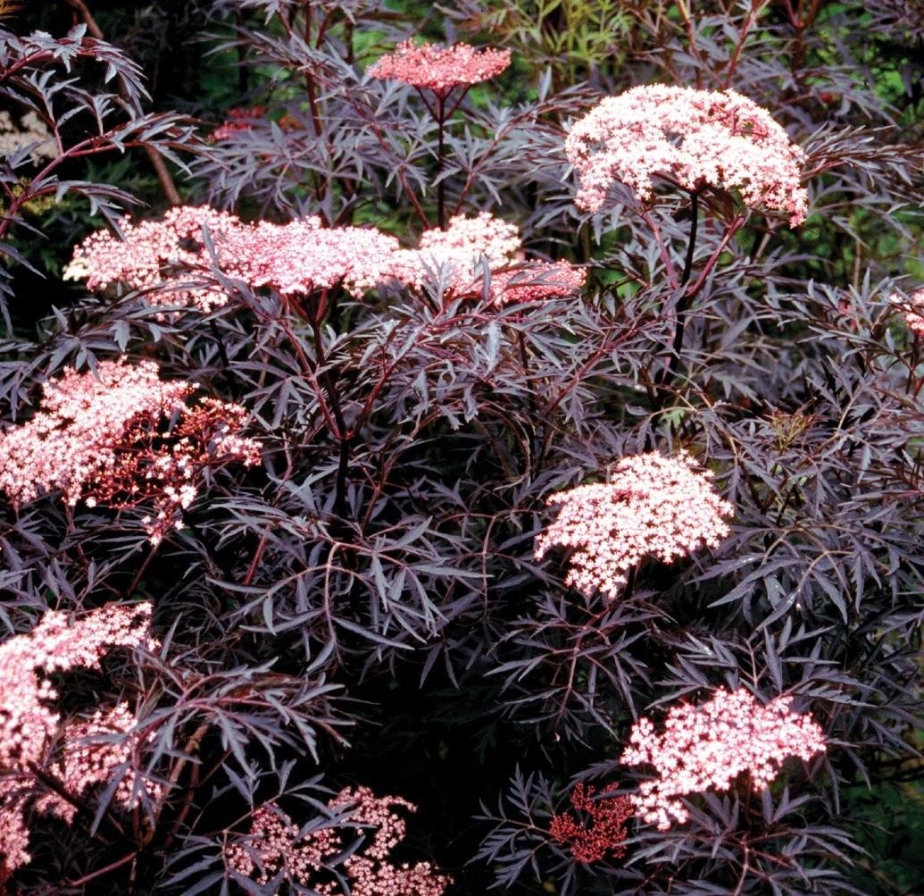 sambucus nigra black lace black elder sambuca plant. Black Bedroom Furniture Sets. Home Design Ideas