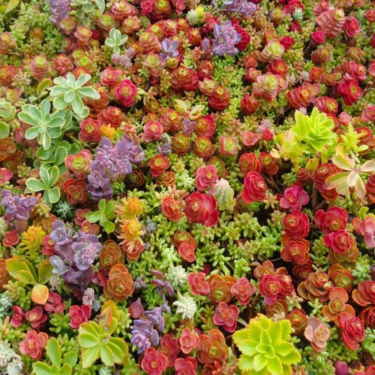 Roses In Garden: Hardy Succulent Sedum Collection