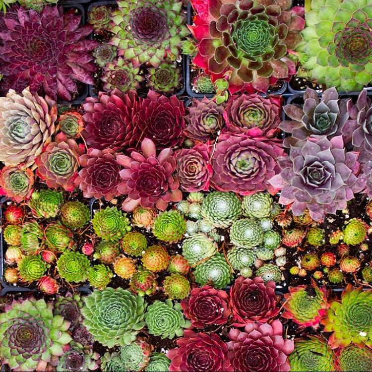 Sempervivum houseleeks pack of six evergreen hardy succulent plants - Hardy office plants ...