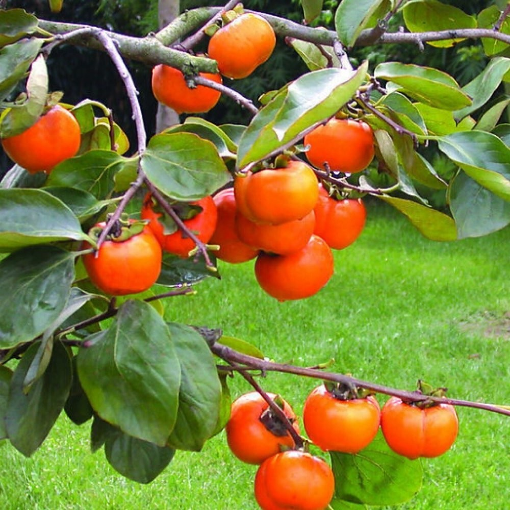 LARGE 1.5-1.8m Hardy Sharon Fruit Tree