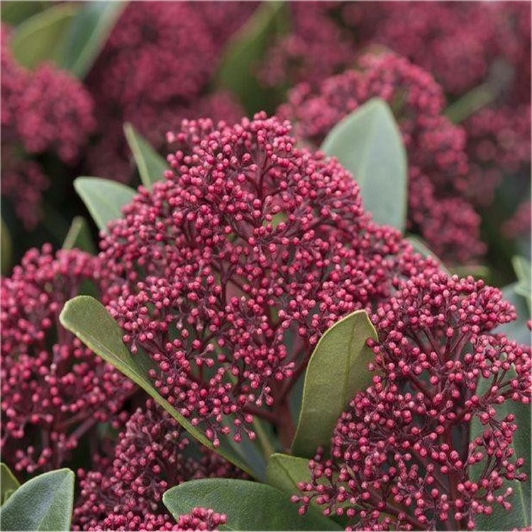 Skimmia Japonica Rubella Young Plant In Bud Garden Plants