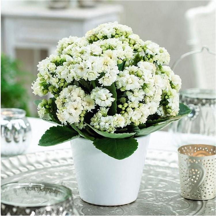 """Picture of Live Kalanchoe White Plant Fit 4"""" Pot"""