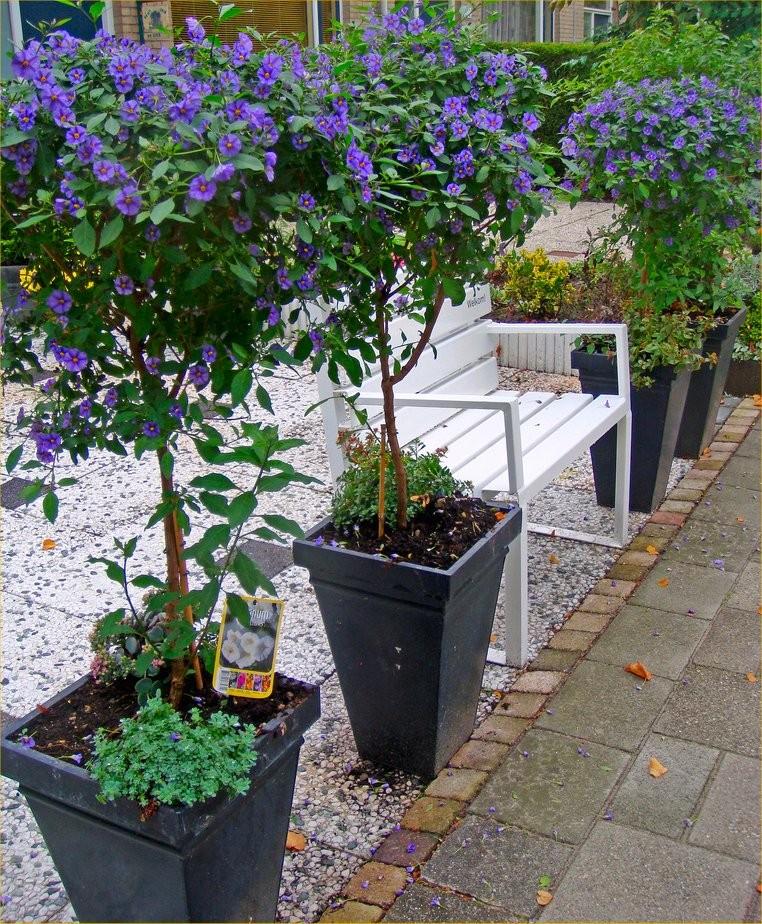 Charming Pair Of Beautiful Blue Flowering Patio Solanum Rantonnetii Trees In Bud And  Bloom
