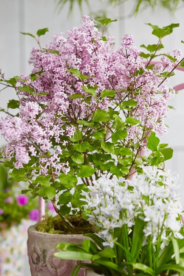 Dwarf Korean Lilac - Syringa SHRUB - Pack of TWO - Small ...