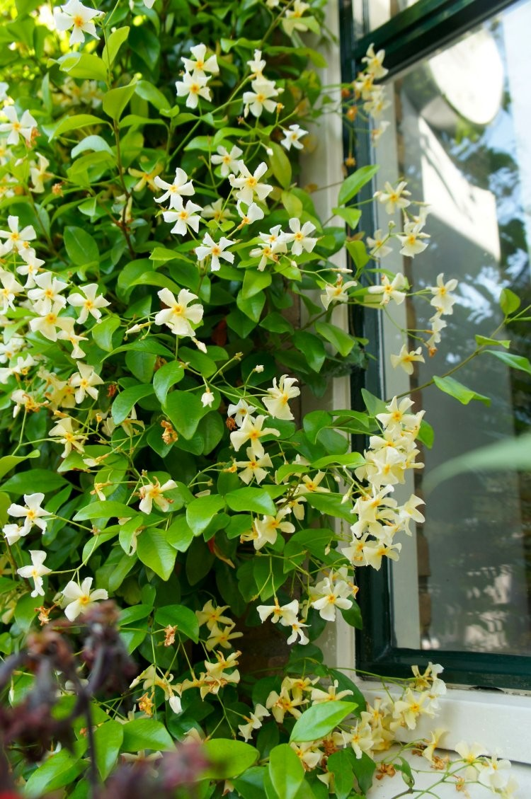 special deal trachelospermum jasminoides star of tuscany star jasmin rhyncospermum. Black Bedroom Furniture Sets. Home Design Ideas