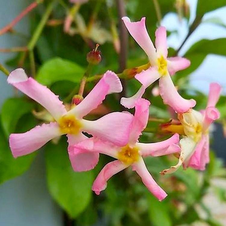 Winter Sale Fragrant Trachelospermum Asiaticum Pink Showers
