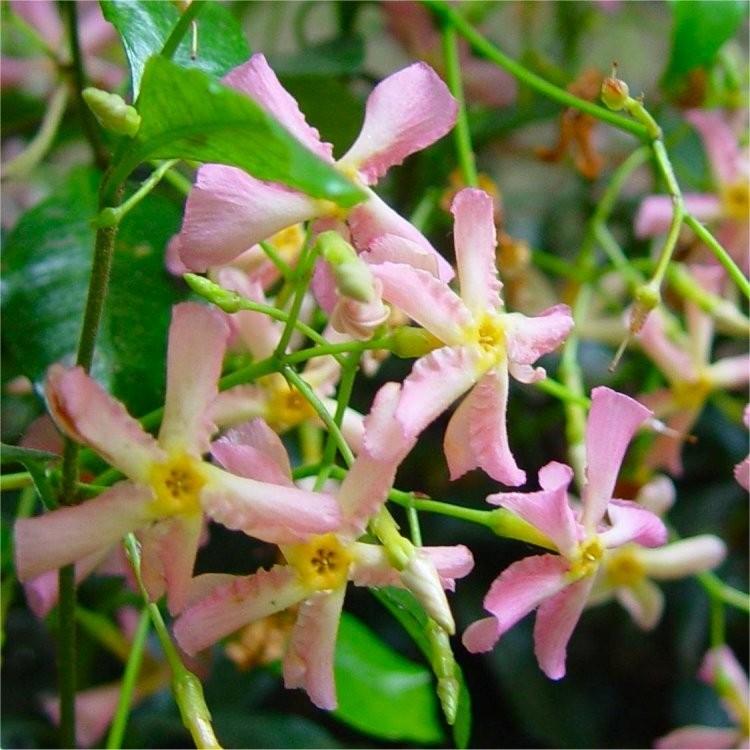 SPECIAL DEAL Fragrant Trachelospermum asiaticum Pink Showers-Pink Star Jasmine
