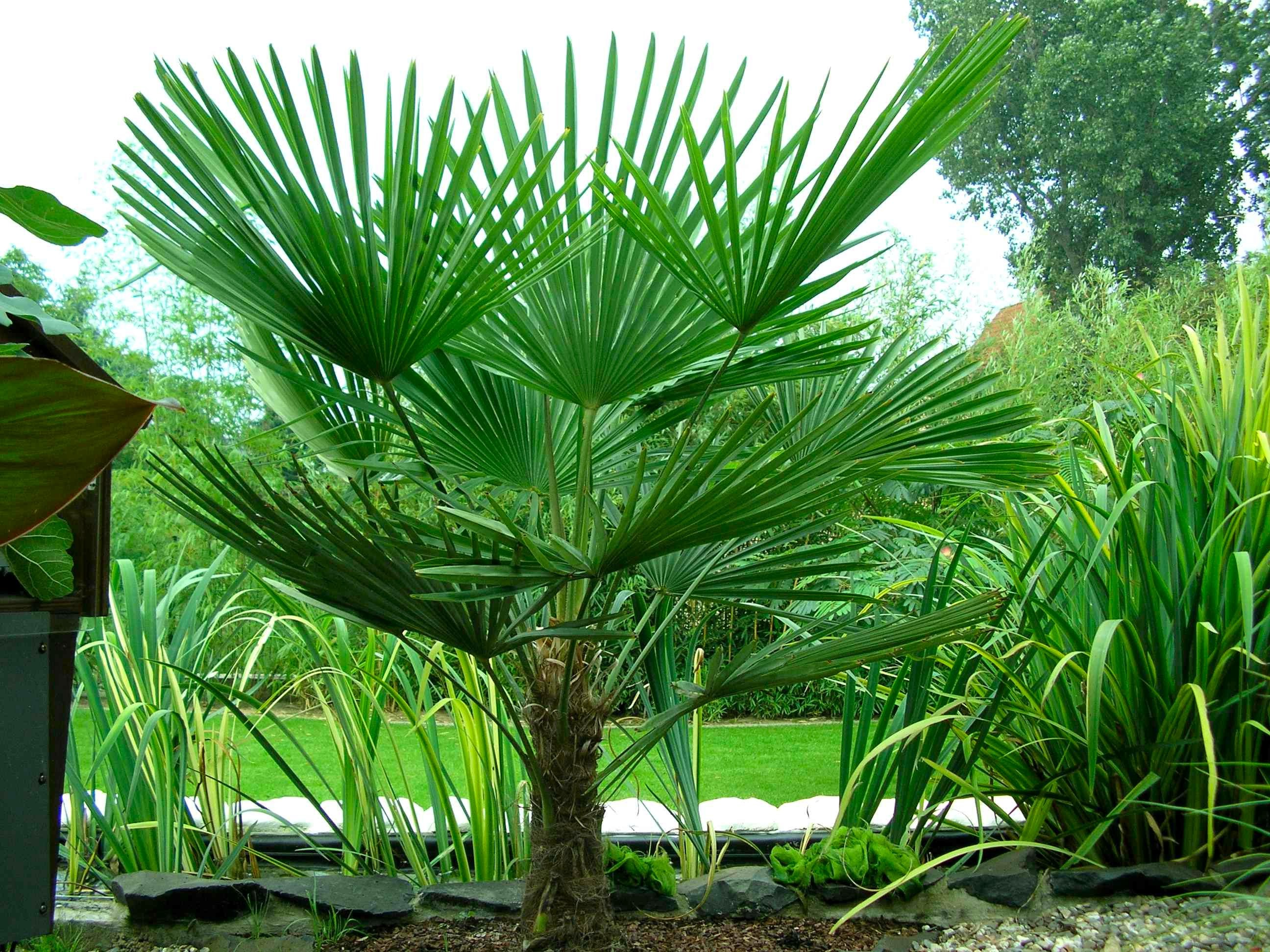 Trachycarpus fortunei hardy chusan windmill fan palm for Hearty ornamental grasses