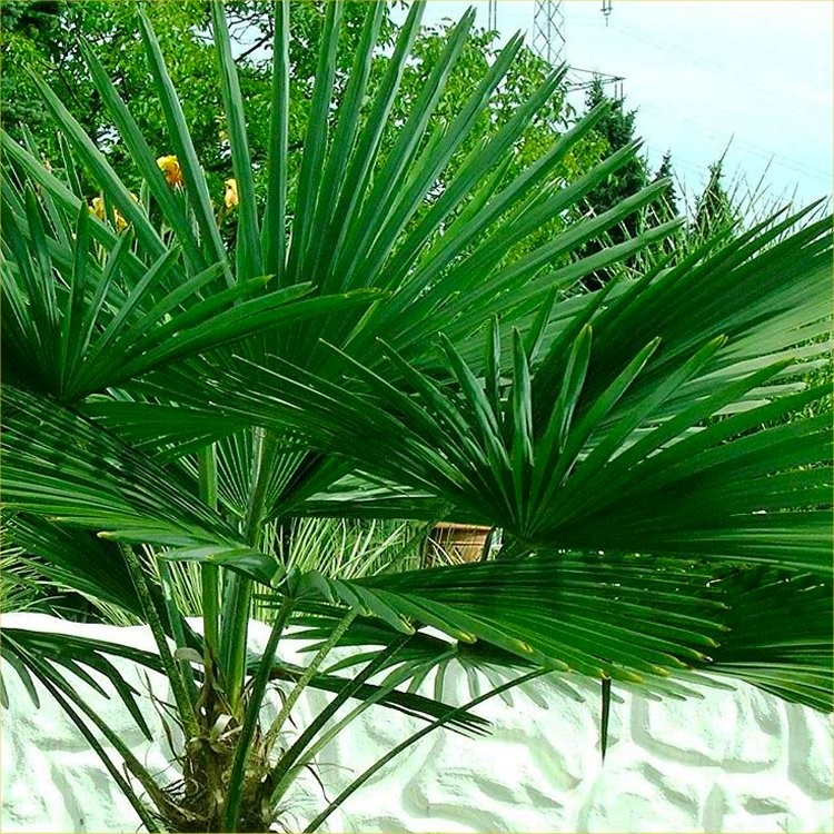 trachycarpus fortunei hardy chusan windmill fan palm young 30