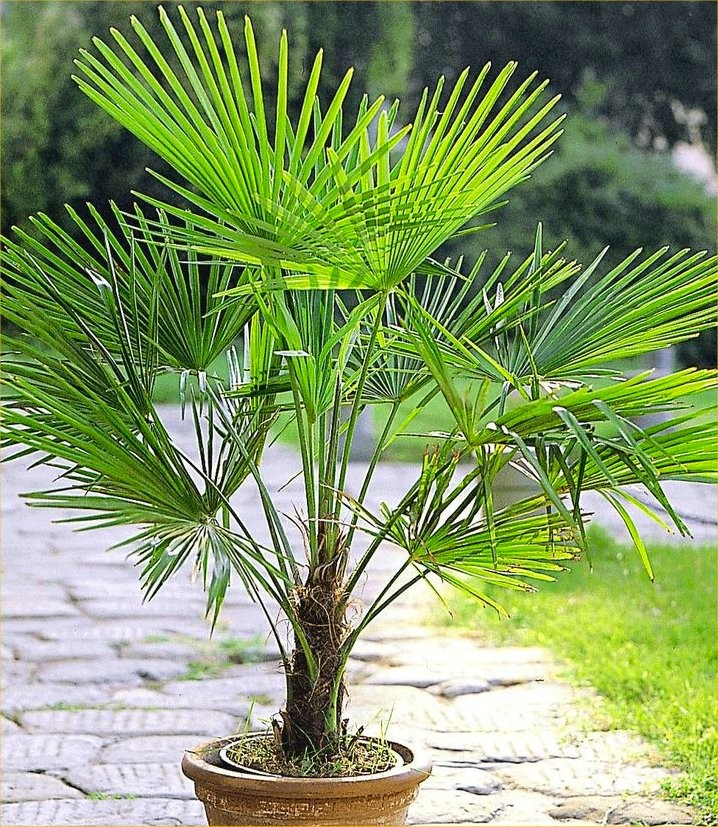 Delicieux Trachycarpus Fortunei   Hardy Chusan Windmill Fan Palm   Young 30 40cm  Hardy Palm Tree
