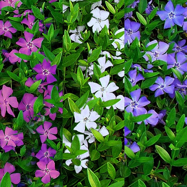 vinca minor multi colour tricolour flowers evergreen pack of three lesser periwinkle plants. Black Bedroom Furniture Sets. Home Design Ideas